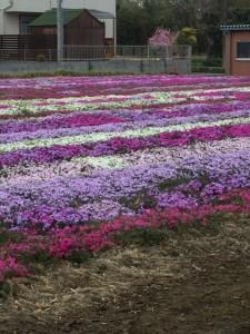 芝桜 かわら版配布にて